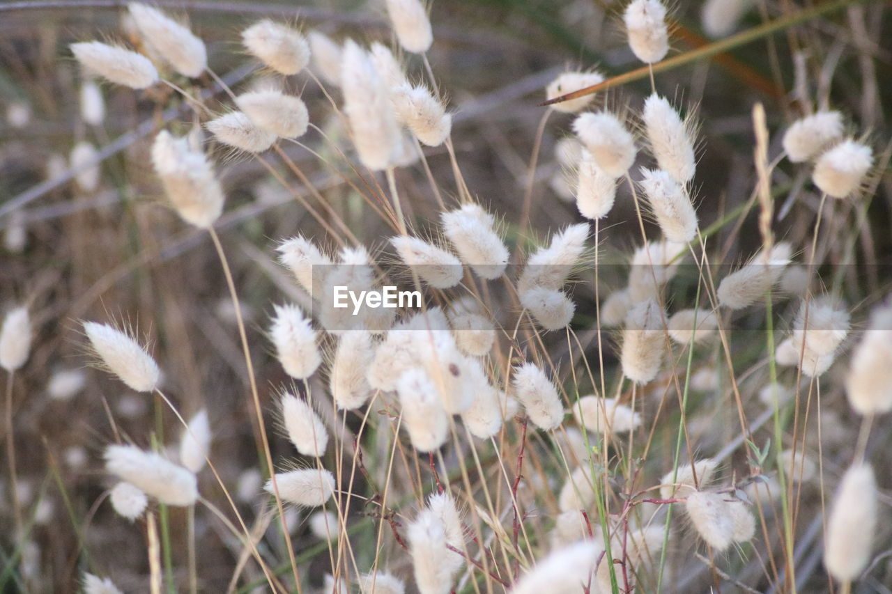 plant, flower, flowering plant, vulnerability, fragility, growth, beauty in nature, nature, close-up, freshness, field, selective focus, day, no people, white color, land, dandelion, tranquility, outdoors, softness, flower head, dandelion seed
