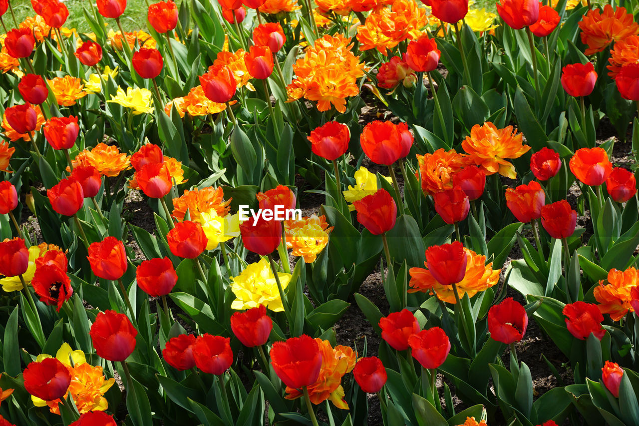 flowering plant, flower, plant, beauty in nature, fragility, vulnerability, growth, petal, freshness, flower head, inflorescence, close-up, orange color, nature, land, field, red, tulip, day, full frame, no people, outdoors, springtime, flowerbed