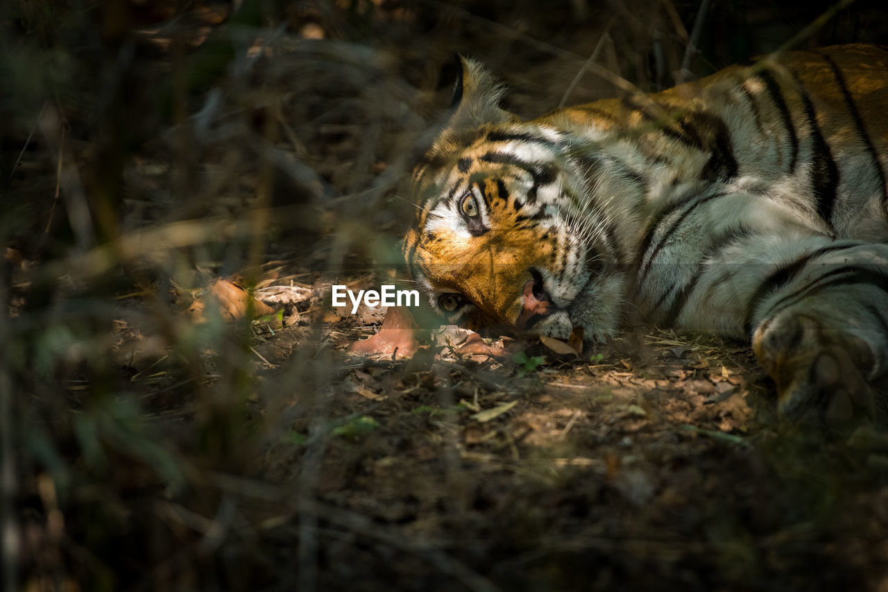feline, animal, one animal, animal themes, tiger, big cat, mammal, cat, animal wildlife, selective focus, animals in the wild, field, carnivora, vertebrate, land, no people, nature, relaxation, forest, outdoors