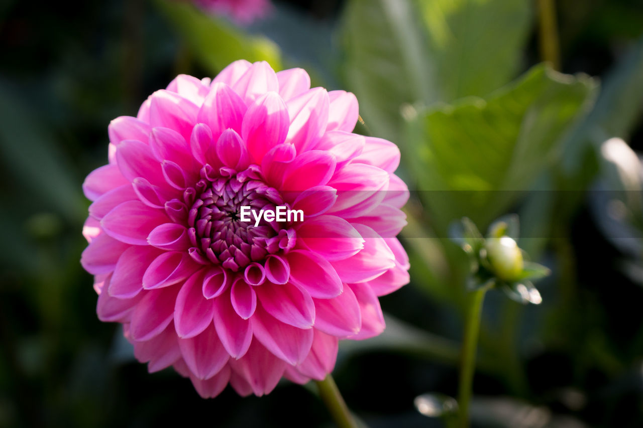 flower, beauty in nature, petal, growth, nature, fragility, freshness, flower head, plant, no people, pink color, blooming, focus on foreground, close-up, day, outdoors, dahlia, zinnia