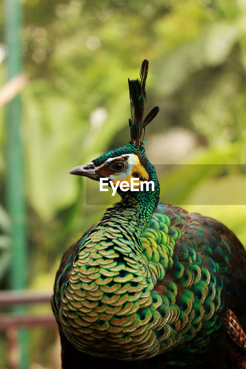 animal themes, bird, animal wildlife, animals in the wild, animal, vertebrate, one animal, focus on foreground, no people, beauty in nature, close-up, green color, peacock, nature, day, beak, outdoors, male animal, zoology, looking away, animal head