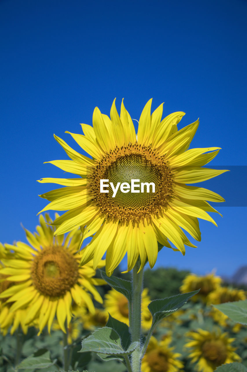 yellow, flower, flowering plant, flower head, plant, freshness, fragility, growth, vulnerability, beauty in nature, sunflower, petal, inflorescence, sky, nature, close-up, clear sky, pollen, blue, no people, outdoors, sepal