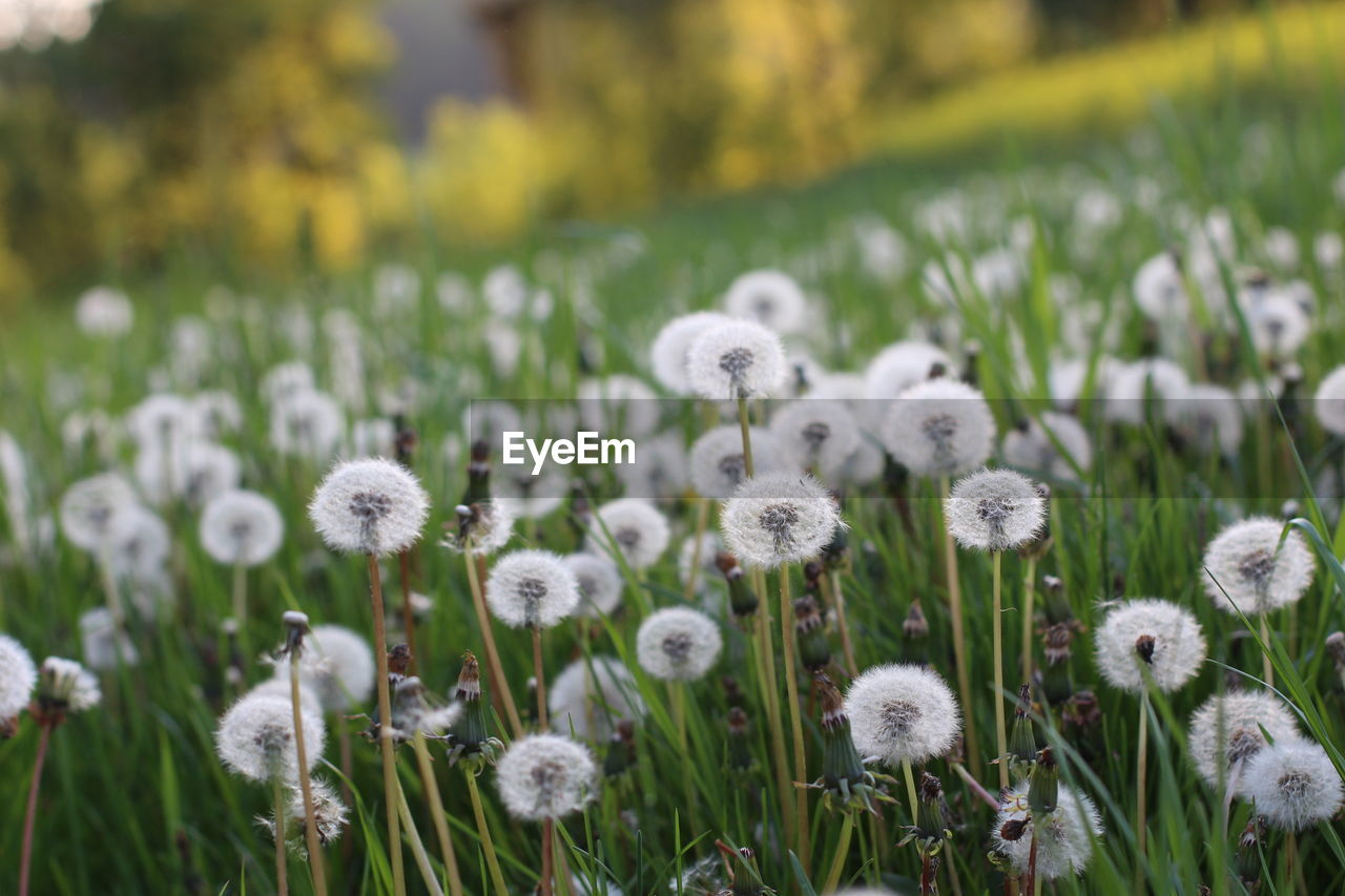 nature, growth, beauty in nature, flower, white color, tranquility, plant, fragility, no people, field, outdoors, day, freshness, close-up, grass