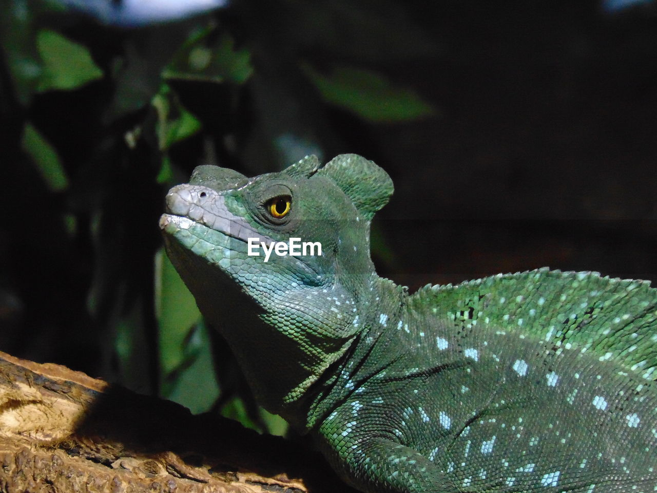 animal, vertebrate, animal themes, animal wildlife, one animal, animals in the wild, lizard, reptile, no people, focus on foreground, close-up, green color, nature, day, looking, looking away, outdoors, plant part, plant, animal scale, animal head, iguana