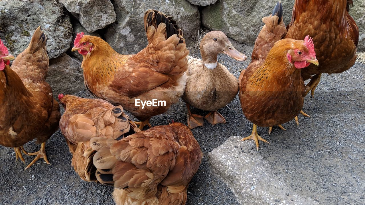 bird, livestock, animal themes, group of animals, chicken - bird, animal, chicken, domestic, vertebrate, pets, domestic animals, mammal, brown, day, no people, hen, poultry, nature, medium group of animals, high angle view, outdoors