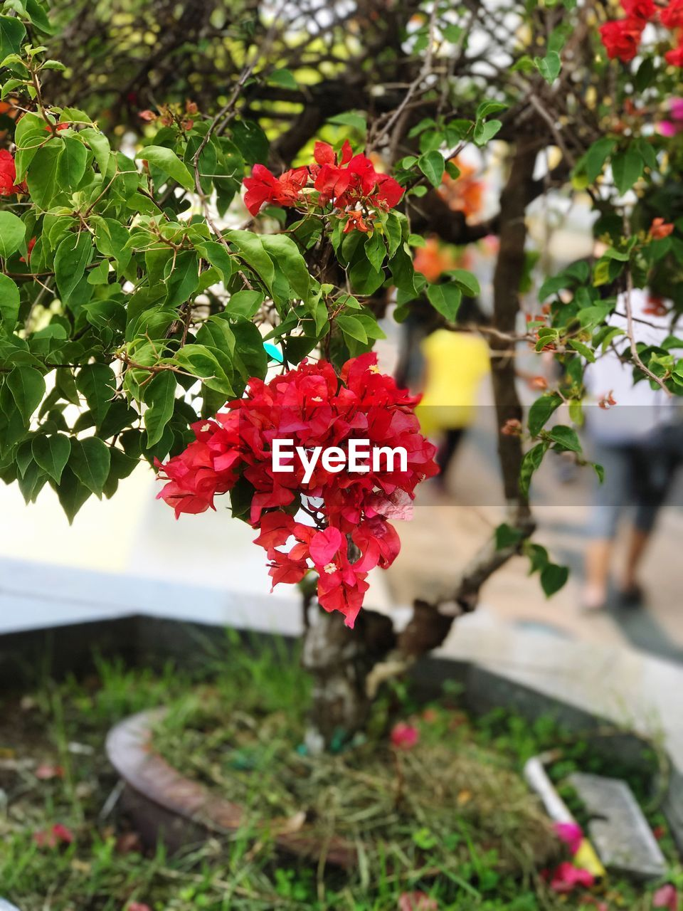 flowering plant, flower, plant, freshness, growth, beauty in nature, red, vulnerability, fragility, nature, petal, day, close-up, focus on foreground, flower head, inflorescence, plant part, leaf, no people, outdoors, lantana