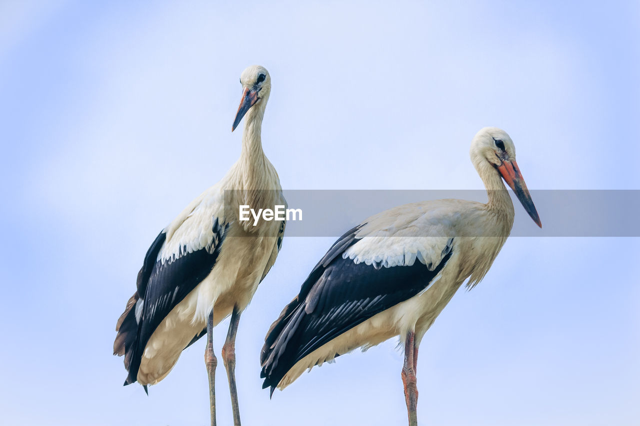 animals in the wild, animal wildlife, animal themes, animal, vertebrate, bird, sky, group of animals, two animals, no people, low angle view, nature, clear sky, day, beak, perching, stork, outdoors, beauty in nature, blue, animal family