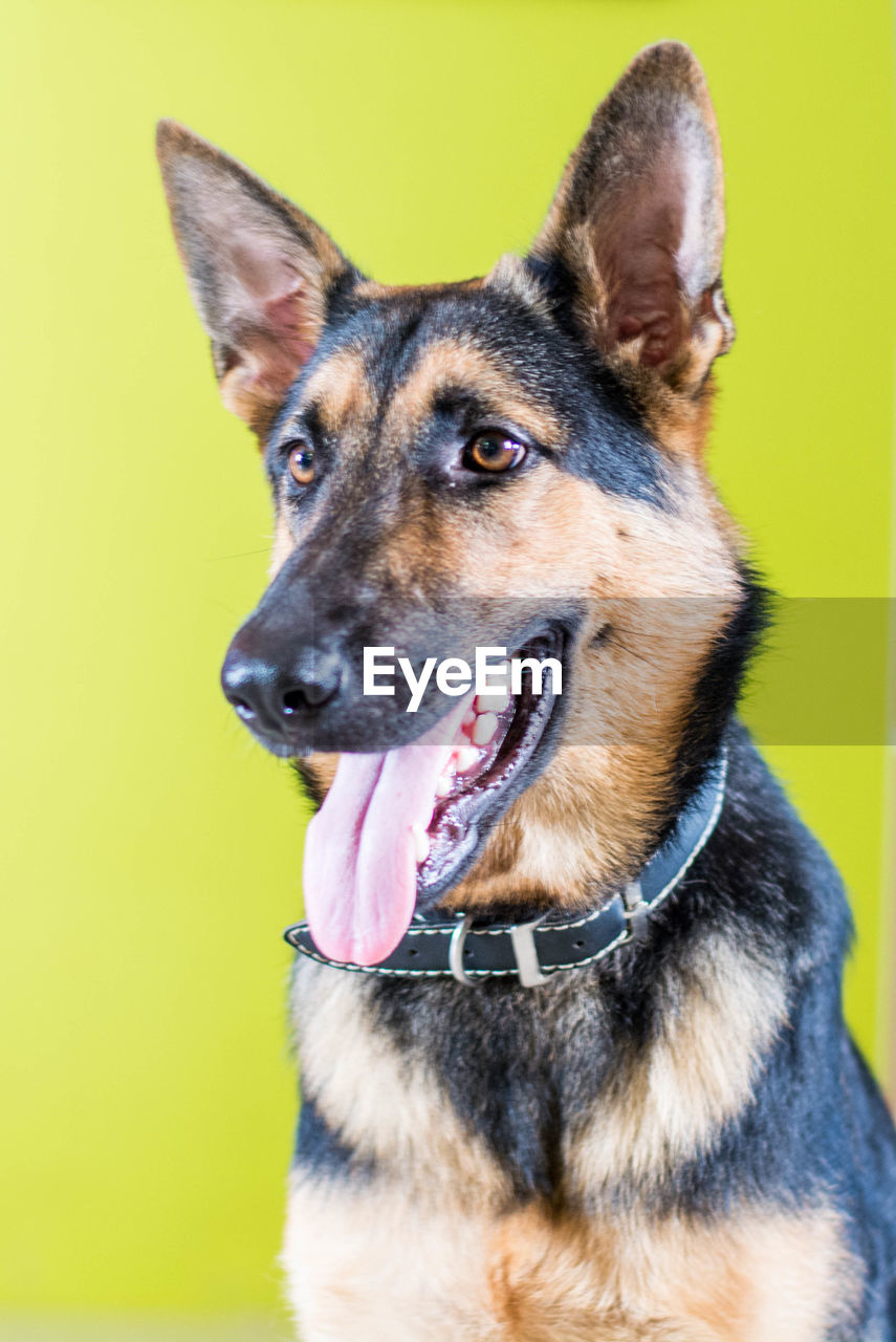 German shepherd against colored background