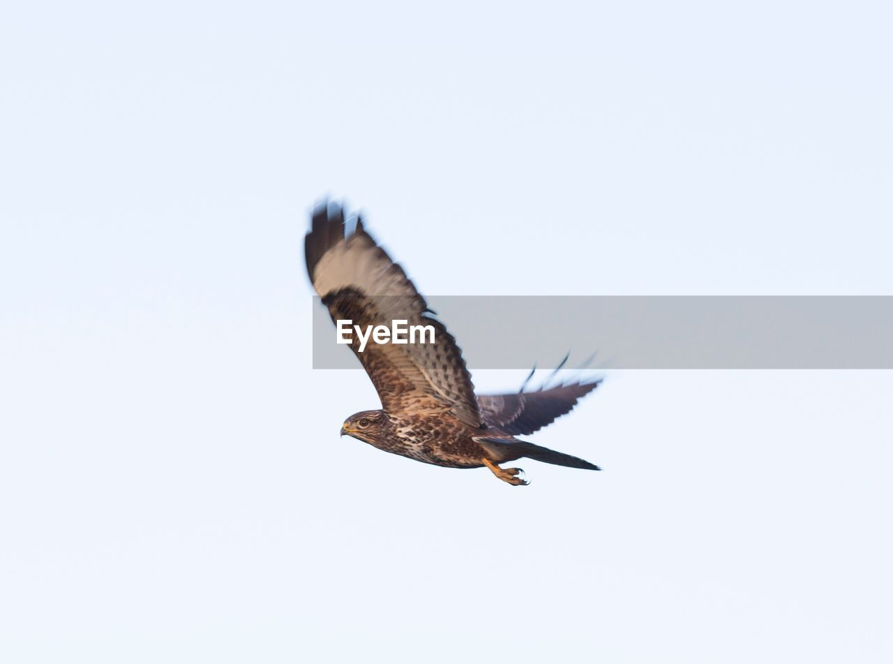animal, animals in the wild, animal wildlife, bird, animal themes, vertebrate, one animal, flying, copy space, spread wings, clear sky, sky, mid-air, no people, bird of prey, nature, low angle view, day, outdoors, motion, eagle