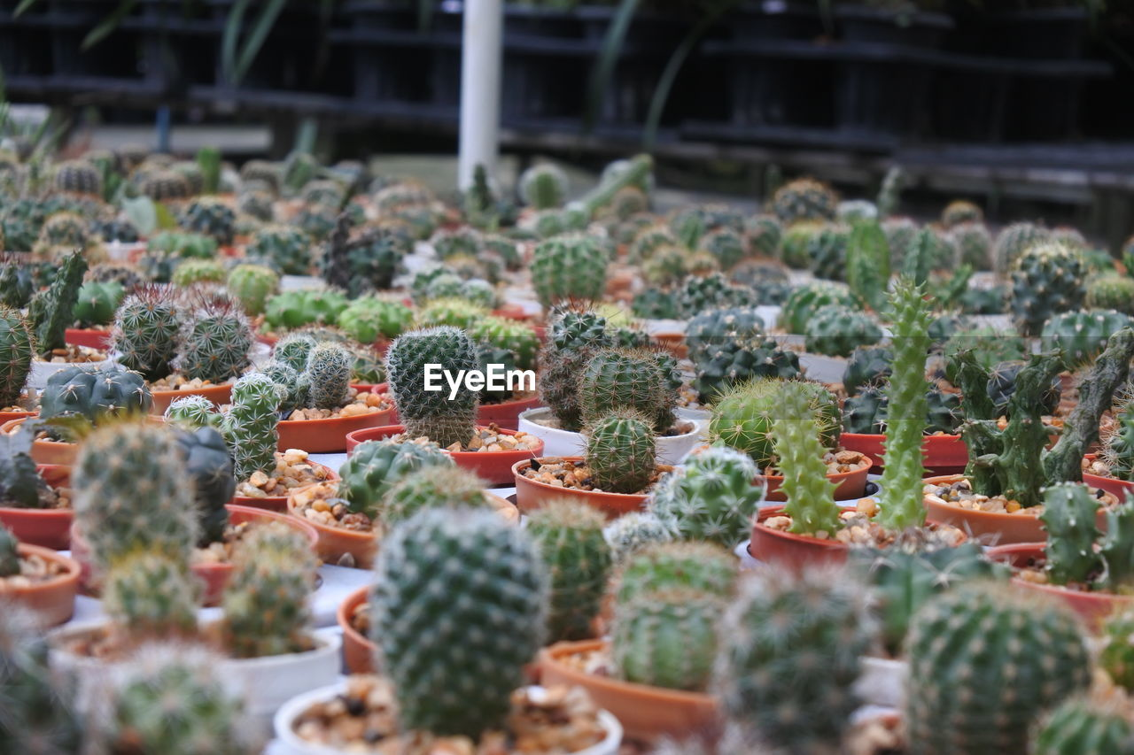 selective focus, succulent plant, growth, cactus, no people, green color, plant, close-up, day, beauty in nature, greenhouse, botany, plant nursery, nature, freshness, in a row, potted plant, full frame, outdoors, abundance