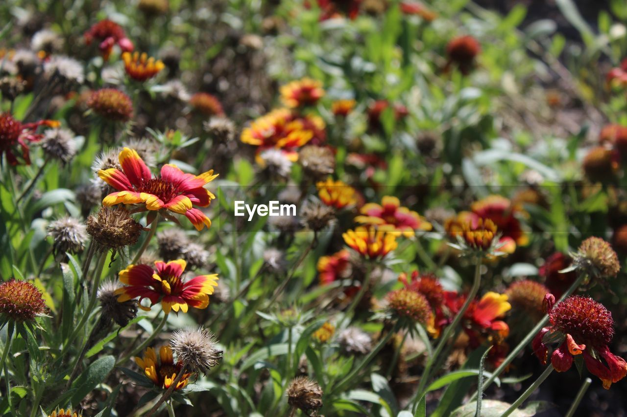 flowering plant, flower, plant, growth, freshness, beauty in nature, fragility, vulnerability, petal, flower head, inflorescence, focus on foreground, nature, close-up, day, no people, orange color, land, outdoors, botany