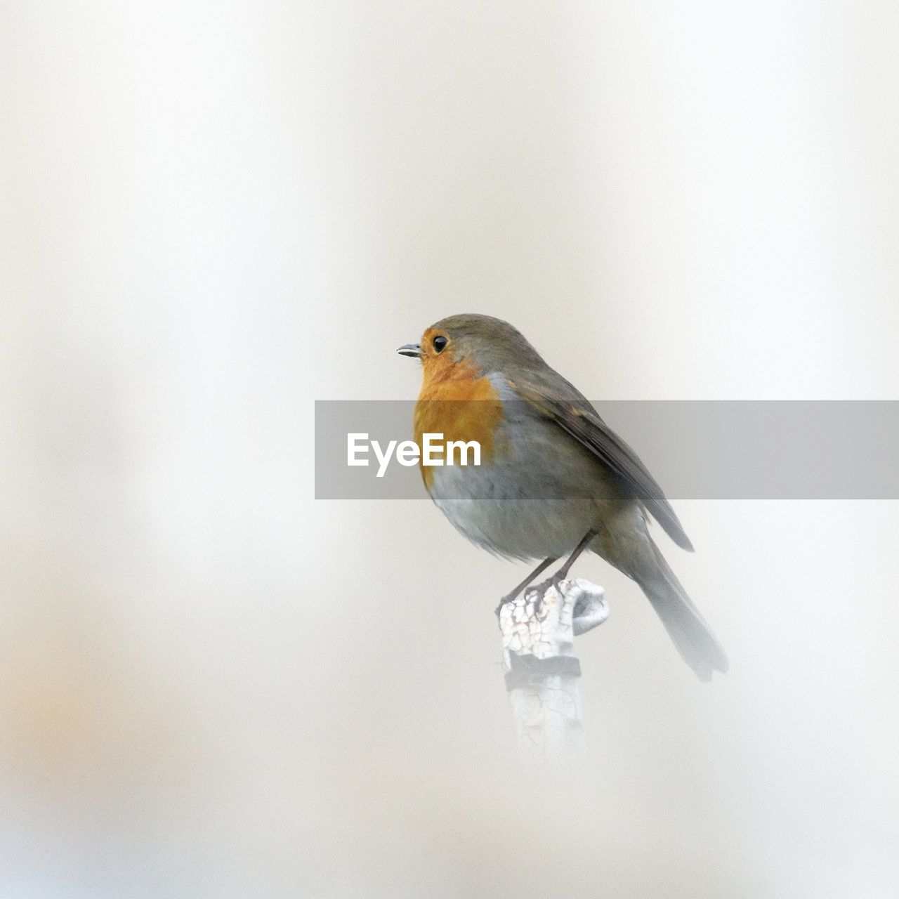 bird, animal themes, animal, vertebrate, one animal, animal wildlife, animals in the wild, perching, copy space, no people, day, robin, outdoors, close-up, nature, focus on foreground, full length, looking, looking away, beauty in nature