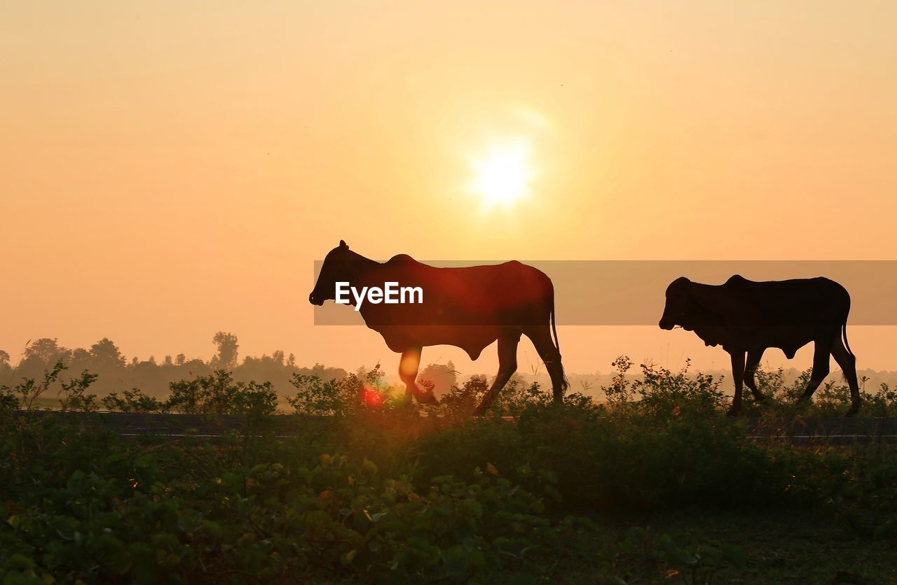 sunset, animal, mammal, animal themes, sky, vertebrate, livestock, field, domestic animals, orange color, land, domestic, nature, group of animals, sun, pets, silhouette, beauty in nature, plant, animal wildlife, no people, outdoors, herbivorous, lens flare