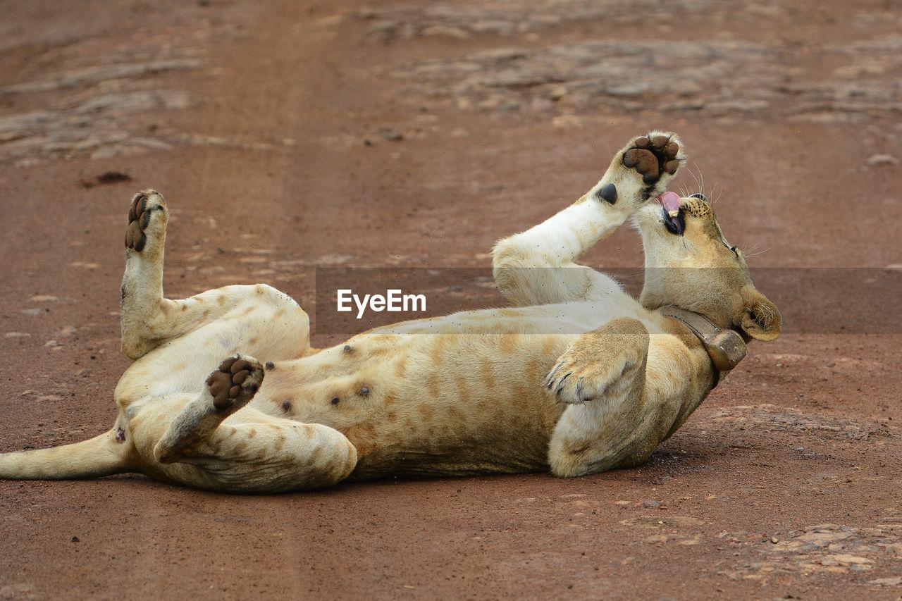 Lioness lying on field