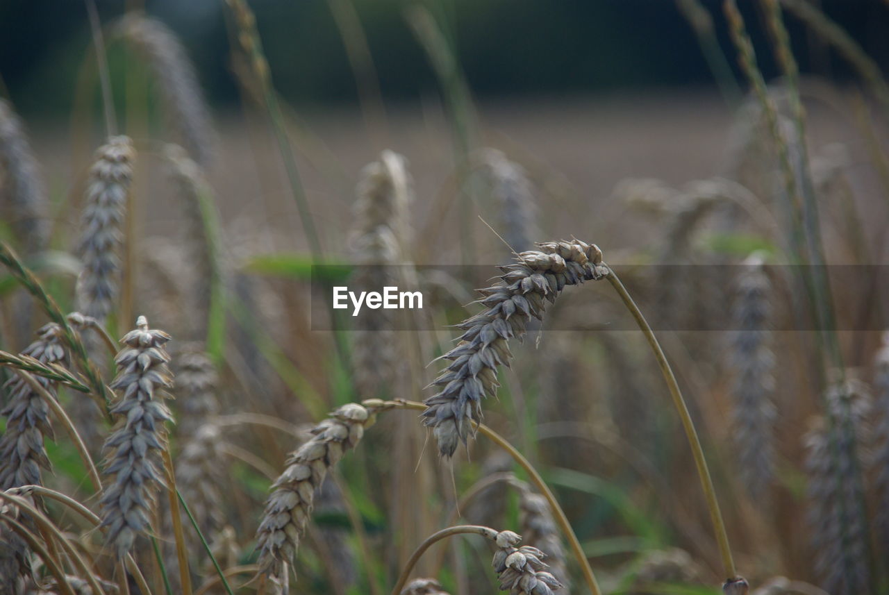 crop, plant, growth, cereal plant, field, agriculture, land, farm, focus on foreground, close-up, no people, nature, day, rural scene, beauty in nature, landscape, tranquility, wheat, ear of wheat, outdoors, plantation, stalk