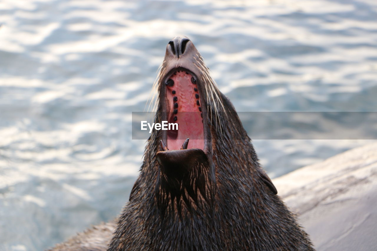 Close-up of sea lion with mouth open in lake at zoo