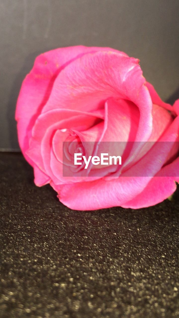 flower, petal, rose - flower, pink color, close-up, nature, no people, flower head, freshness, indoors, beauty in nature, fragility, day