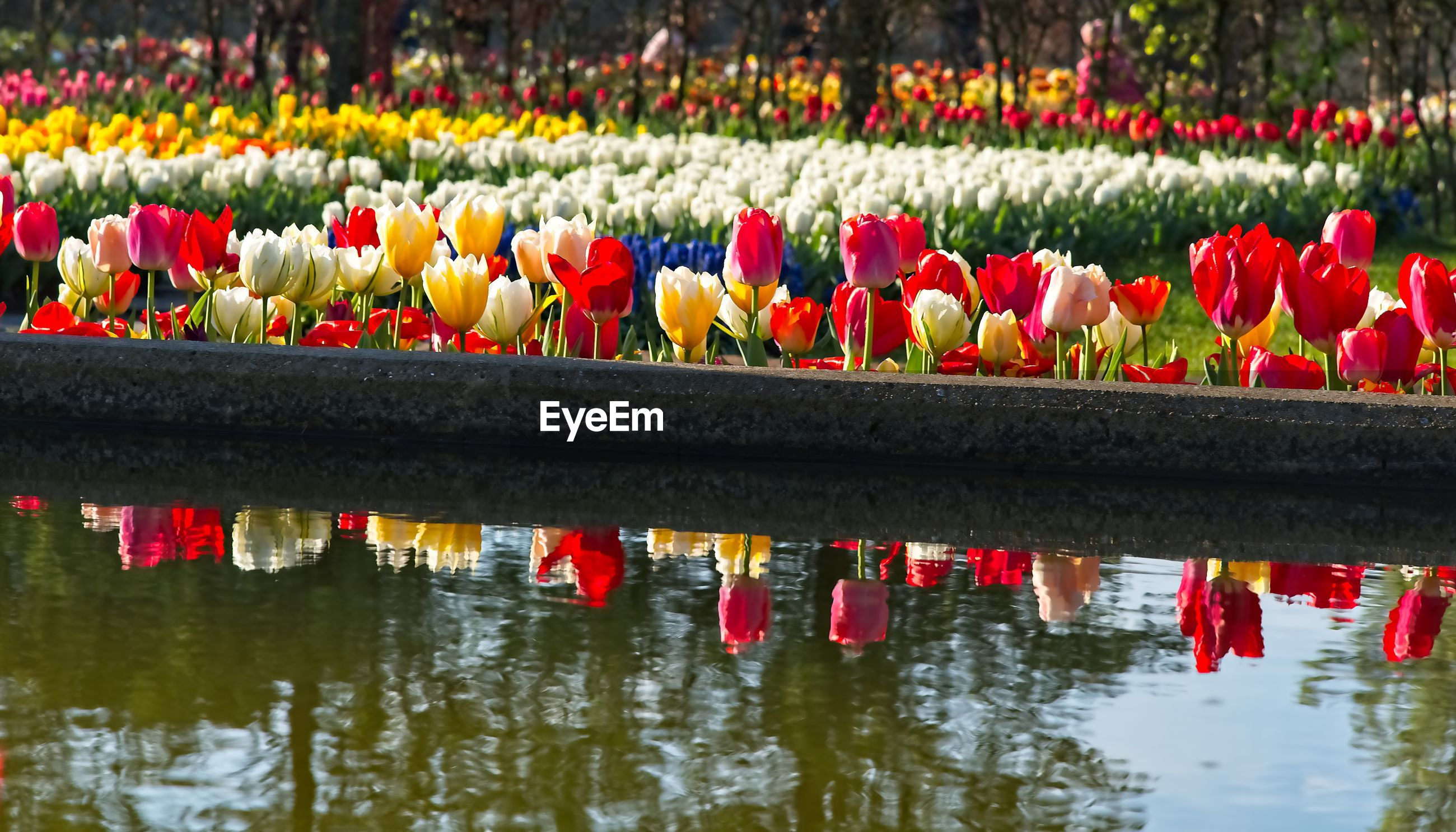 MULTI COLORED TULIPS IN LAKE WITH RED WATER