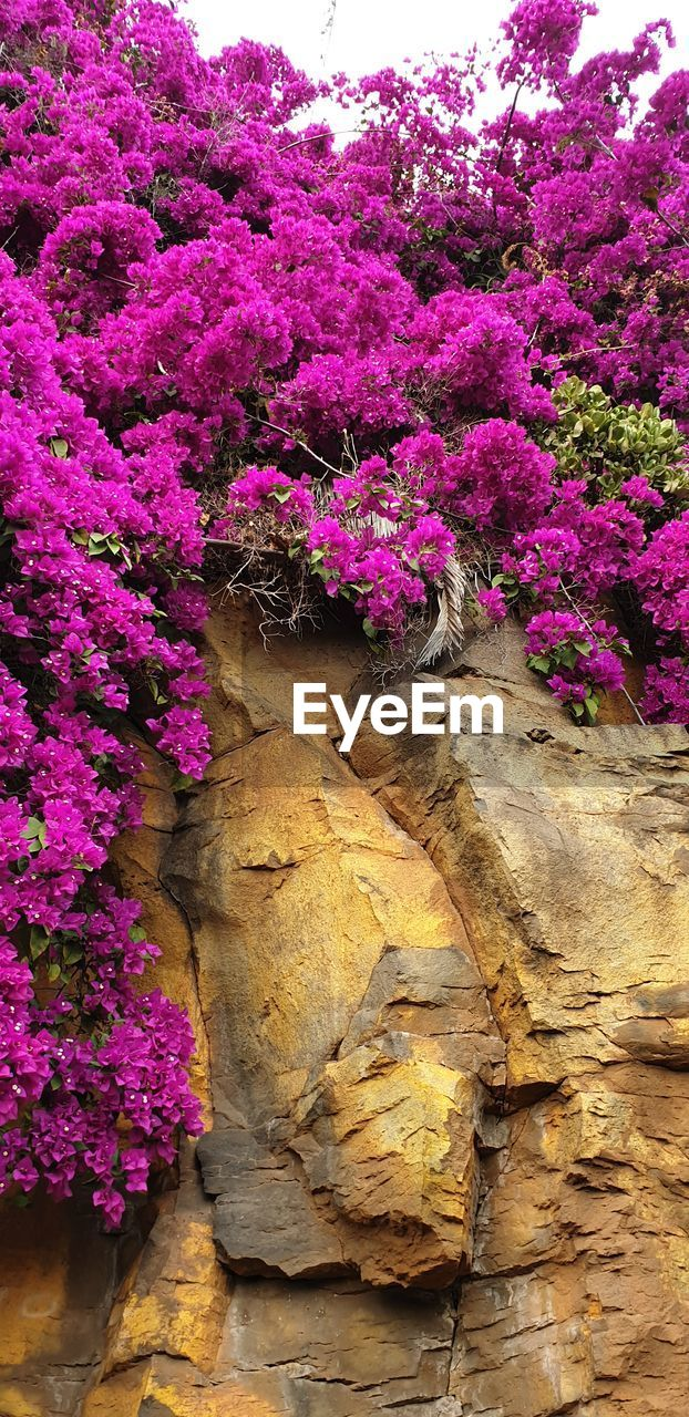 flower, flowering plant, pink color, plant, growth, nature, freshness, beauty in nature, fragility, no people, vulnerability, day, close-up, outdoors, purple, rock, low angle view, tree, rock - object, multi colored, flower head