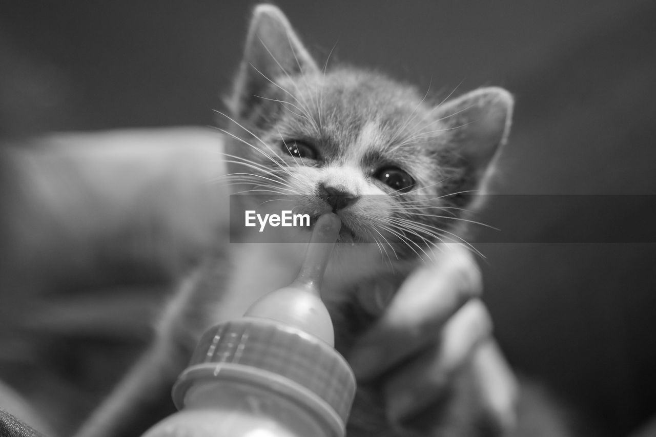 pets, domestic, mammal, one animal, domestic animals, cat, domestic cat, feline, vertebrate, whisker, kitten, young animal, hand, human hand, selective focus, close-up, people, human body part, pet owner, finger
