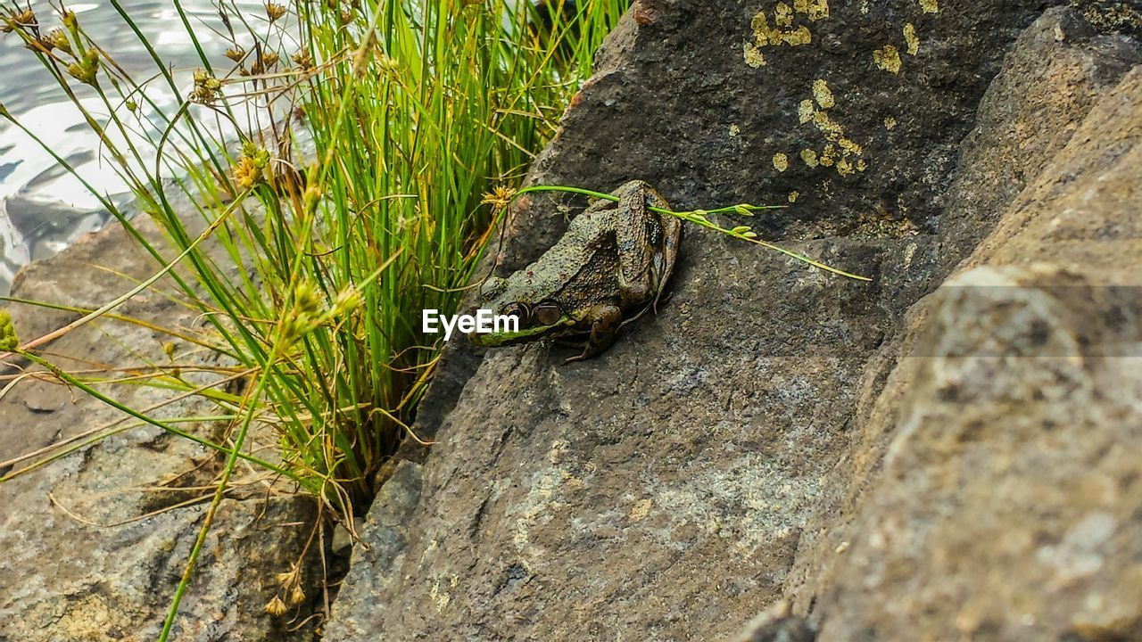 Close-Up Of Green Frog On Rock With Plant