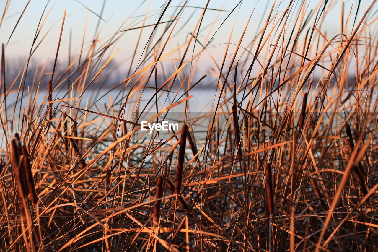 sky, plant, nature, growth, tranquility, sunset, grass, close-up, beauty in nature, no people, water, land, scenics - nature, day, outdoors, focus on foreground, tranquil scene, non-urban scene, dry, sea, timothy grass, blade of grass