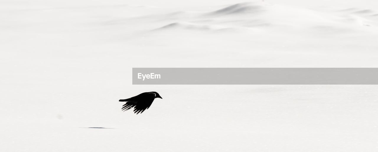 BIRD FLYING IN SNOW DURING WINTER