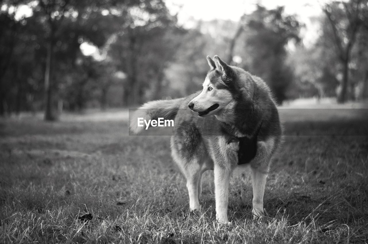 Siberian Husky Looking Away While Standing On Field