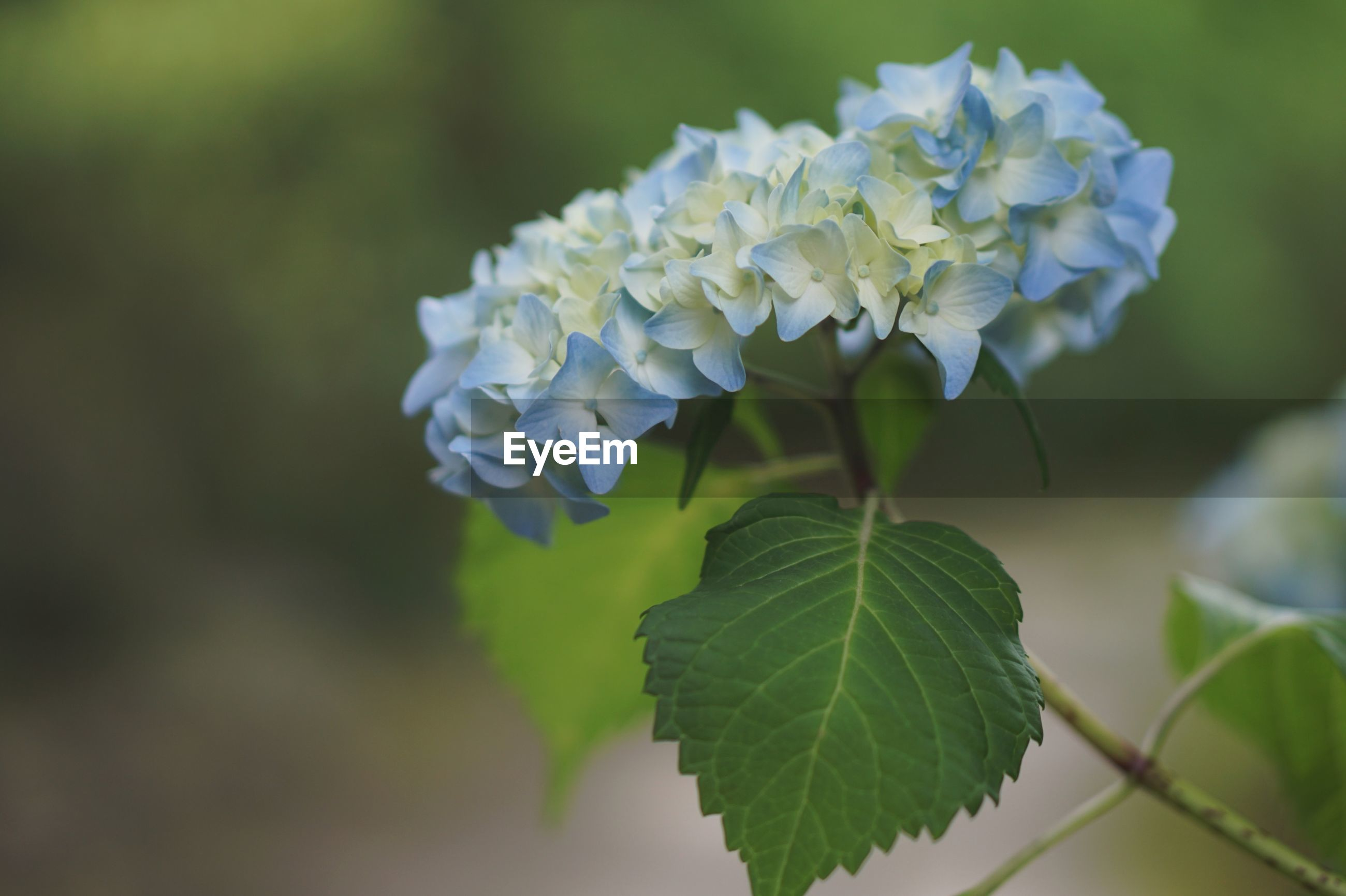 plant, beauty in nature, leaf, flower, flowering plant, plant part, growth, vulnerability, freshness, close-up, fragility, focus on foreground, petal, nature, day, green color, hydrangea, no people, flower head, inflorescence, outdoors, purple, lilac