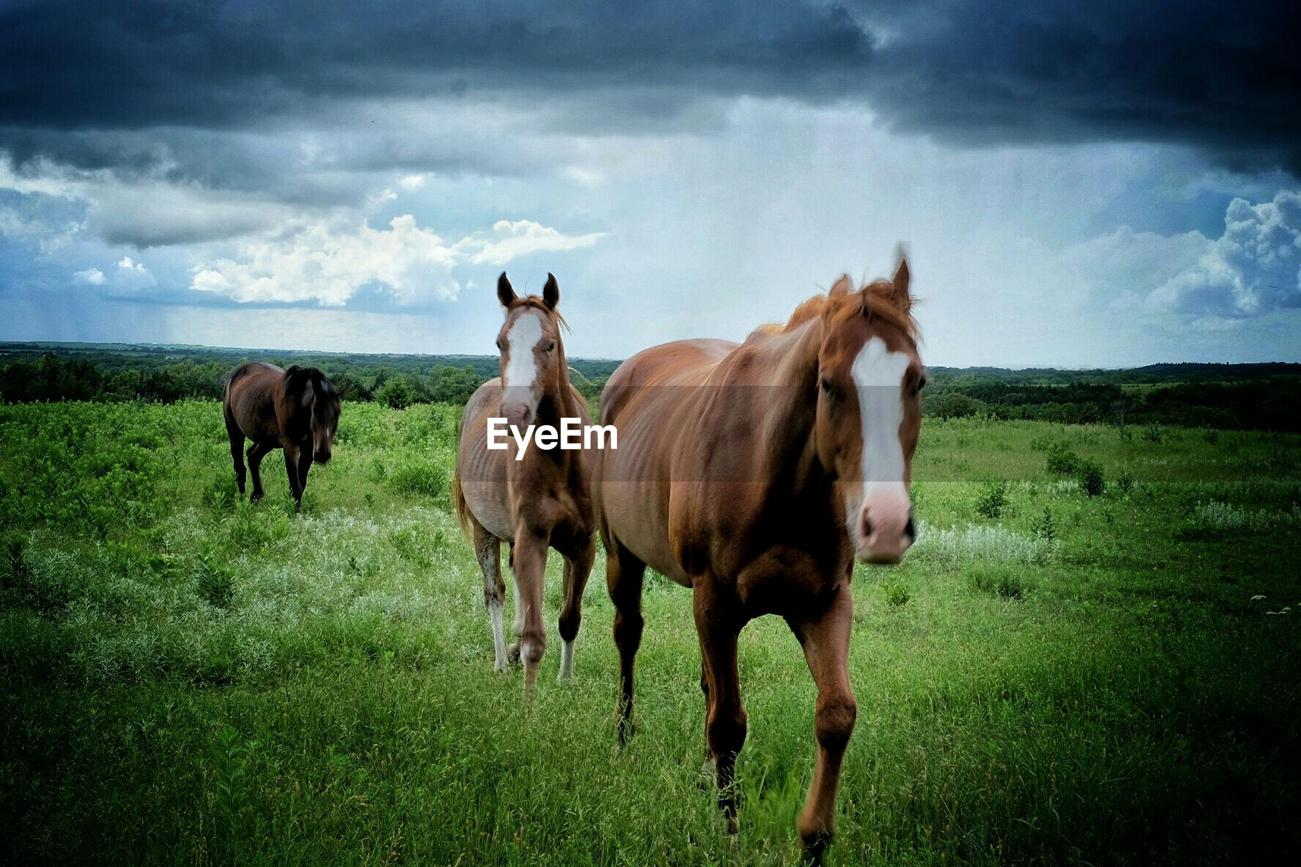 Horses on grassy field against cloudy sky