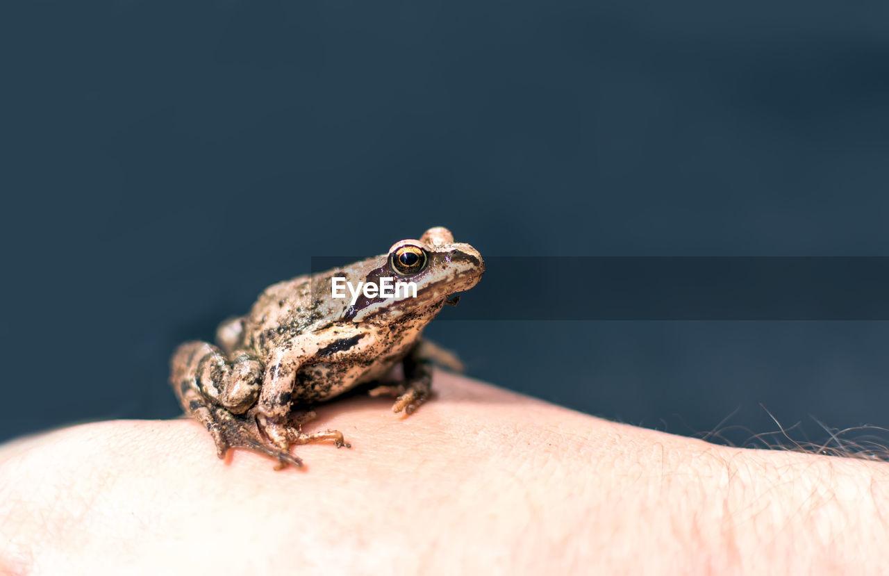 Slim, reddish-brown moor frog rana arvalis sitting on a man's hand