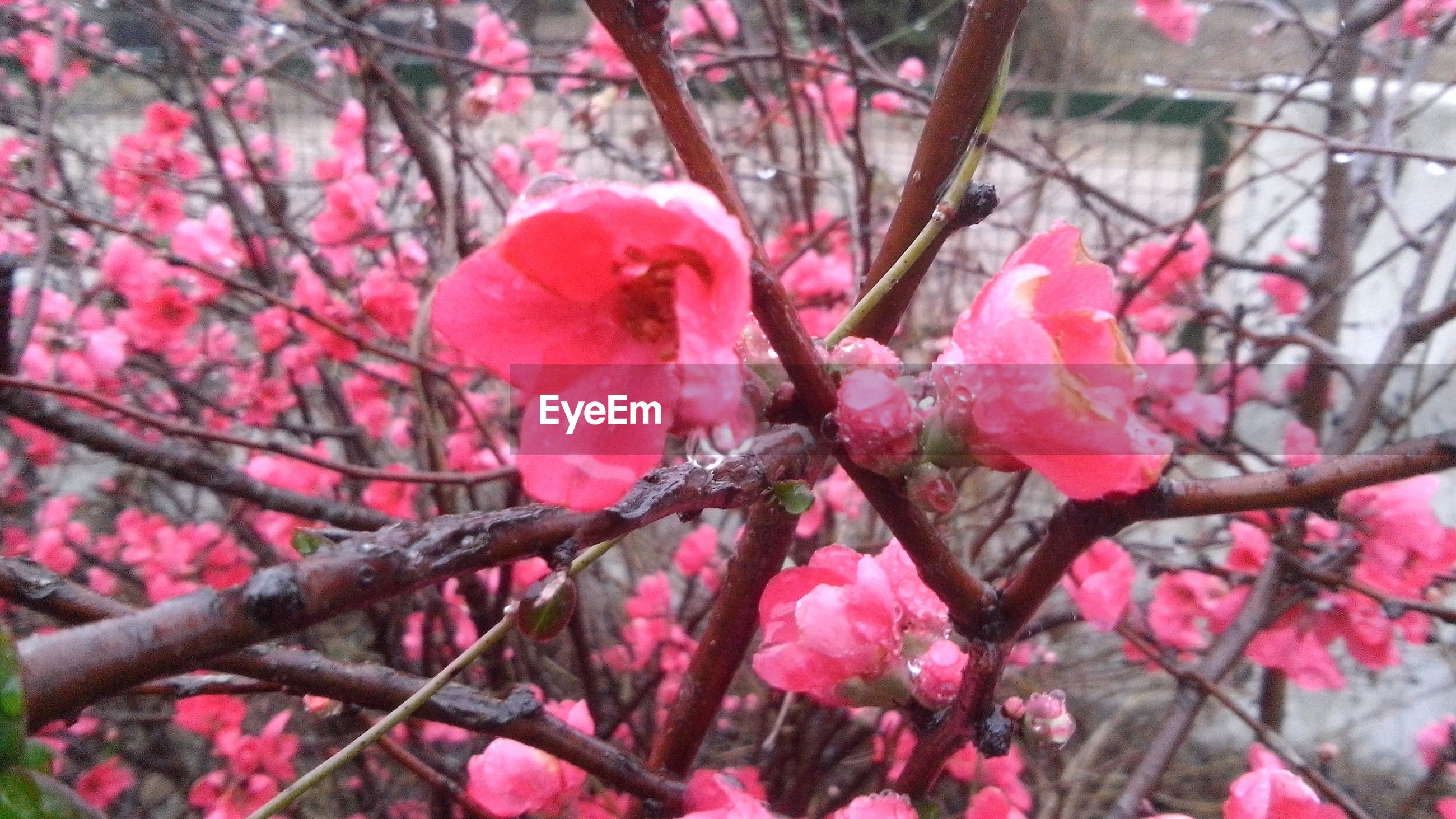 flower, pink color, freshness, growth, fragility, branch, beauty in nature, nature, focus on foreground, close-up, petal, tree, pink, blooming, season, outdoors, day, blossom, plant, selective focus