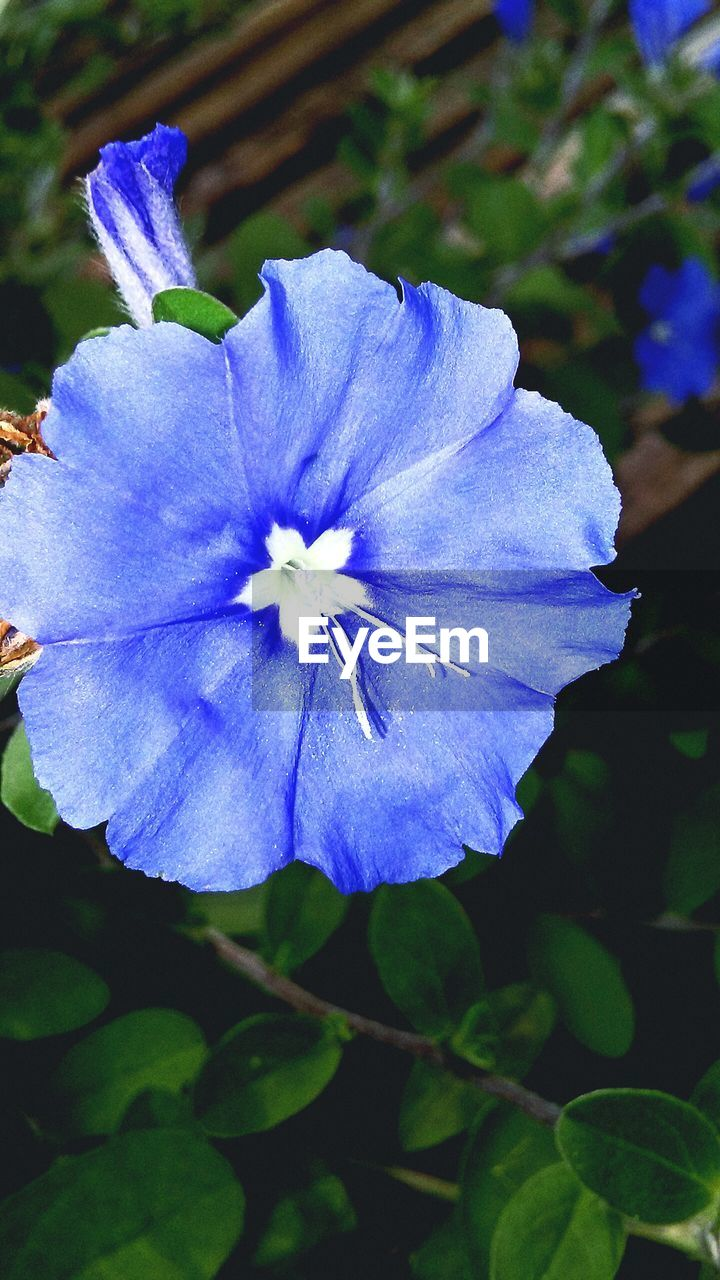 flower, beauty in nature, petal, fragility, nature, growth, flower head, outdoors, blue, plant, freshness, day, blooming, no people, close-up, petunia