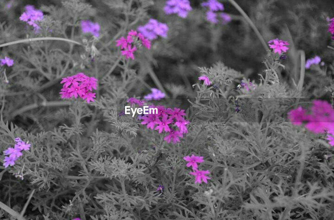 flower, growth, plant, nature, botany, purple, fragility, no people, biology, beauty in nature, flower head, freshness, close-up, outdoors, day