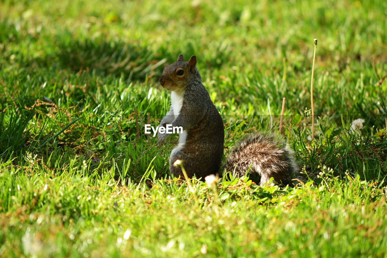 grass, animal wildlife, plant, mammal, animals in the wild, green color, rodent, squirrel, one animal, nature, field, vertebrate, no people, land, selective focus, day, outdoors, profile view