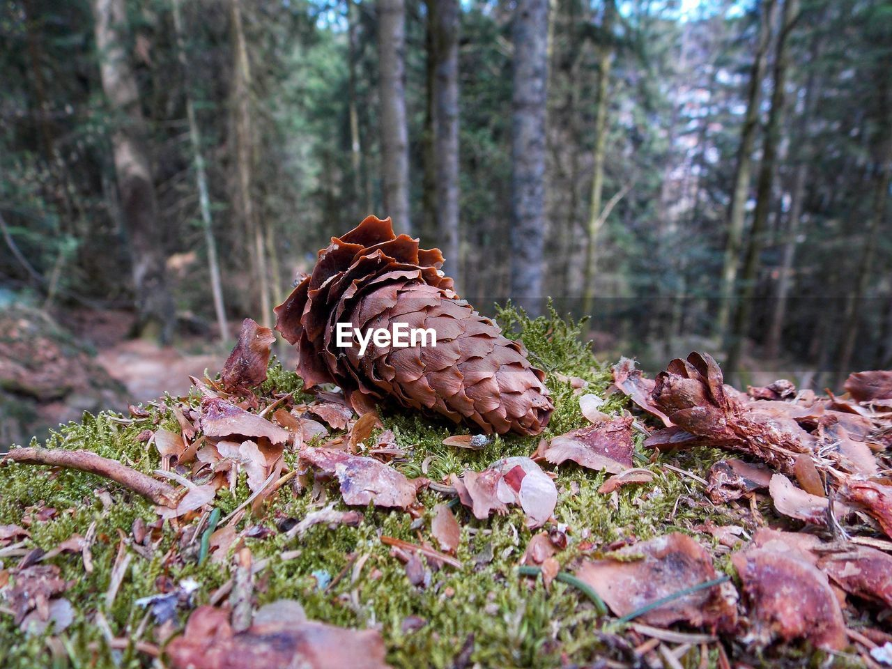 land, nature, forest, selective focus, close-up, day, plant, tree, no people, beauty in nature, pine cone, growth, plant part, outdoors, animal, one animal, leaf, woodland, tranquility, natural pattern, coniferous tree
