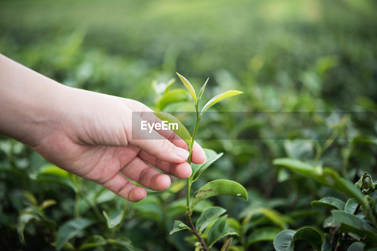 Close-up of hand touching tea leaves at farm
