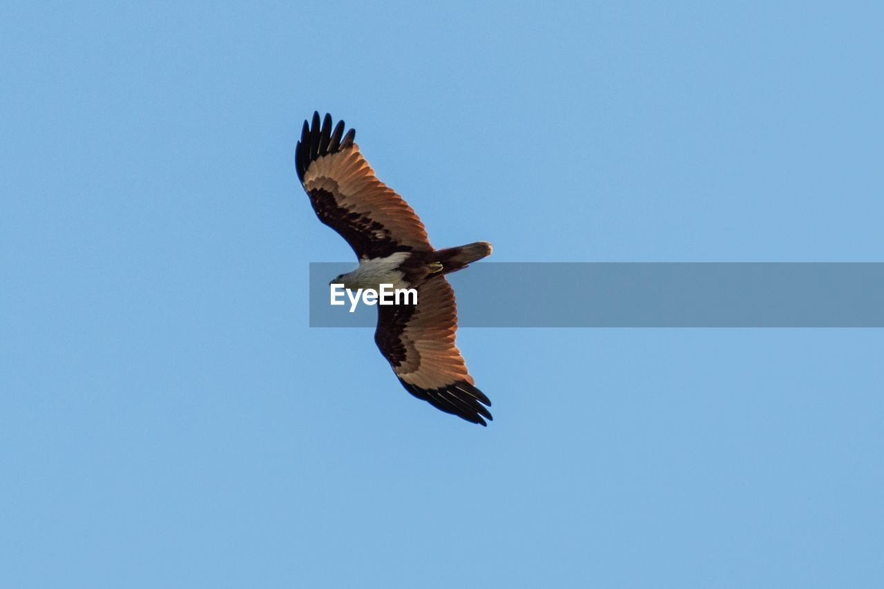 flying, spread wings, animals in the wild, animal wildlife, bird, vertebrate, animal themes, one animal, sky, animal, low angle view, clear sky, blue, copy space, mid-air, no people, bird of prey, motion, nature, day, outdoors, eagle