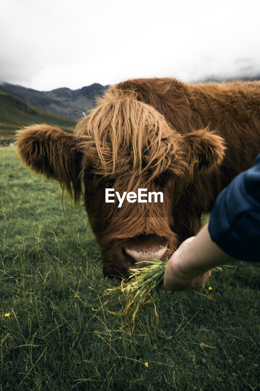 domestic, domestic animals, pets, mammal, animal themes, animal, one animal, field, vertebrate, grass, real people, livestock, land, one person, cattle, human hand, plant, nature, human body part, leisure activity, hand, outdoors, animal head