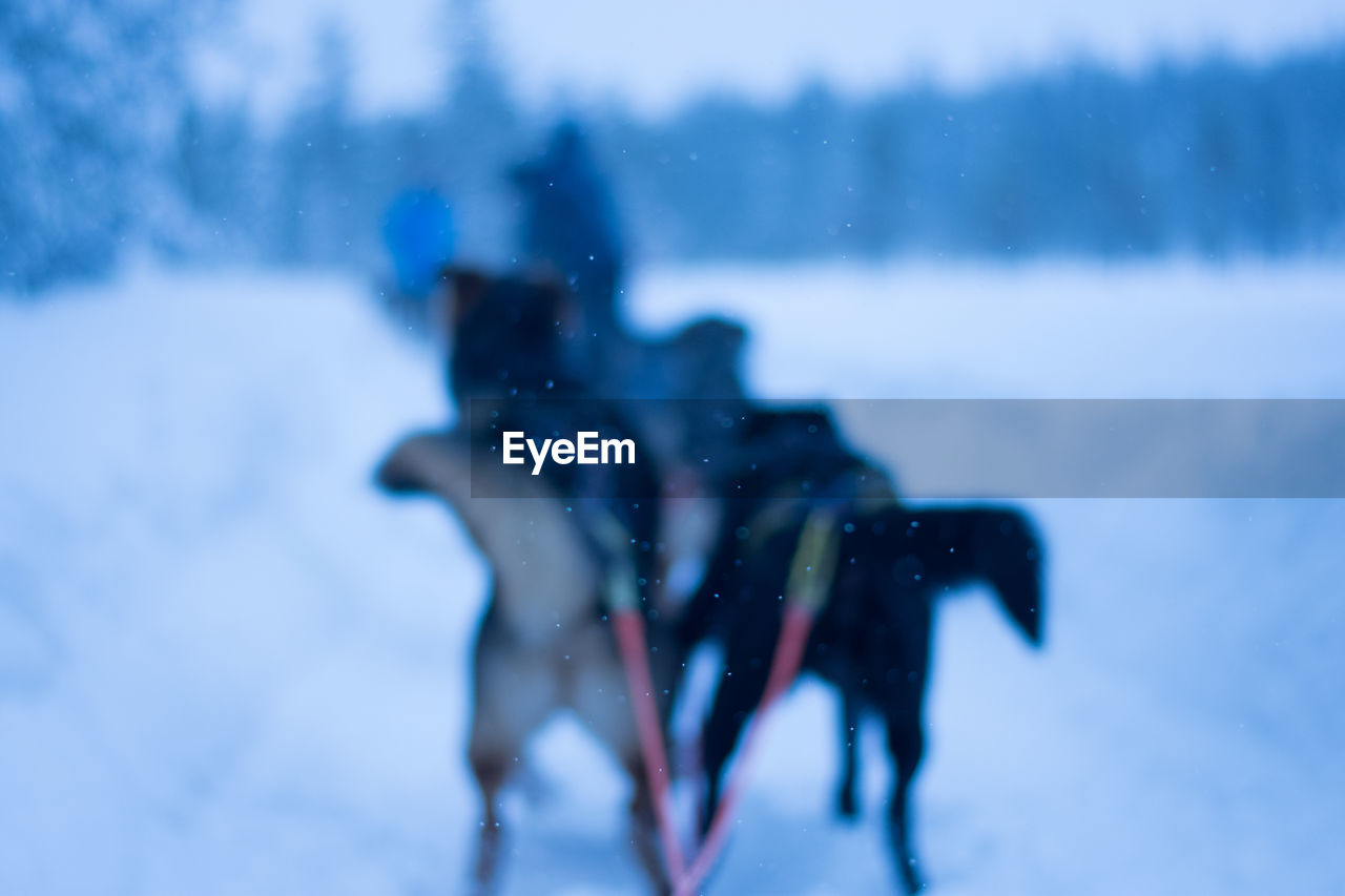 Sled dogs on snow during winter