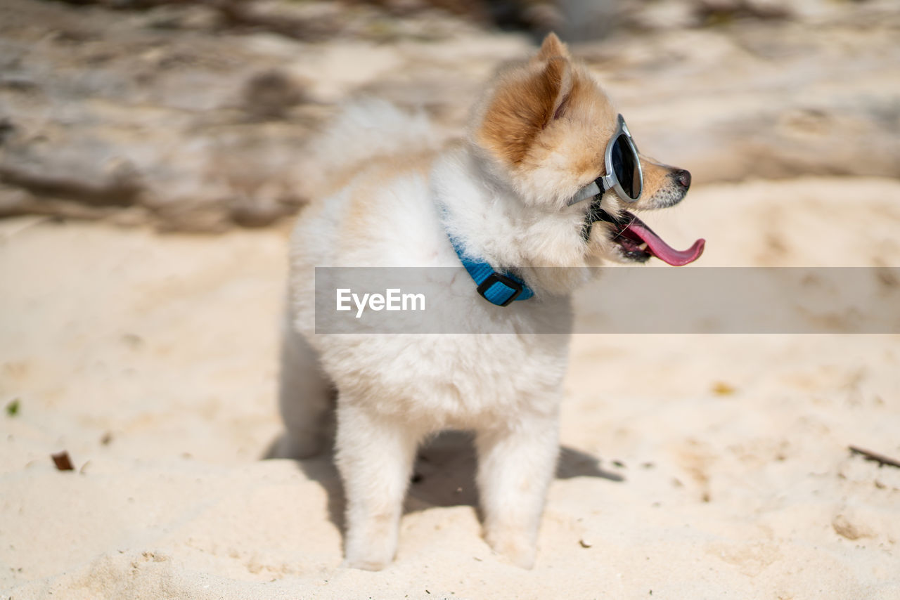 one animal, animal themes, animal, mammal, domestic animals, domestic, pets, dog, vertebrate, canine, land, focus on foreground, no people, looking away, nature, field, day, sunlight, looking, collar, mouth open