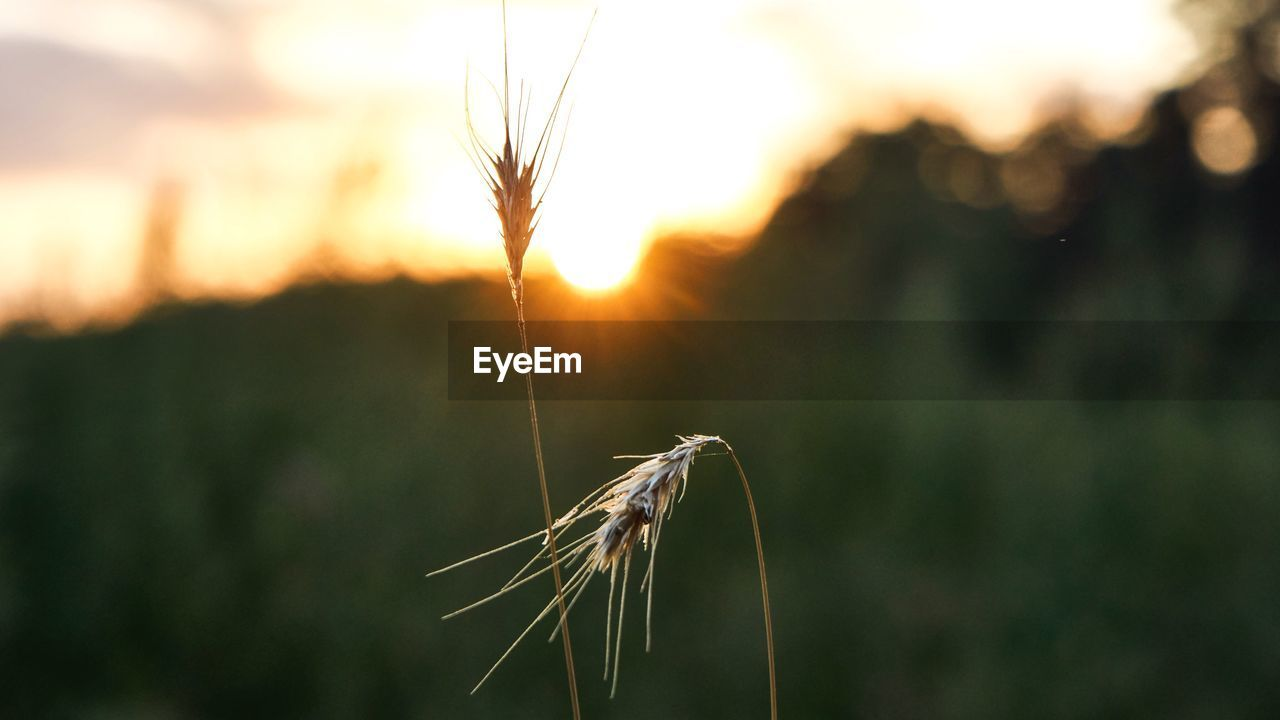 plant, growth, focus on foreground, crop, nature, close-up, sky, sunset, cereal plant, beauty in nature, agriculture, wheat, field, sunlight, tranquility, landscape, plant stem, outdoors, no people, farm, stalk, blade of grass