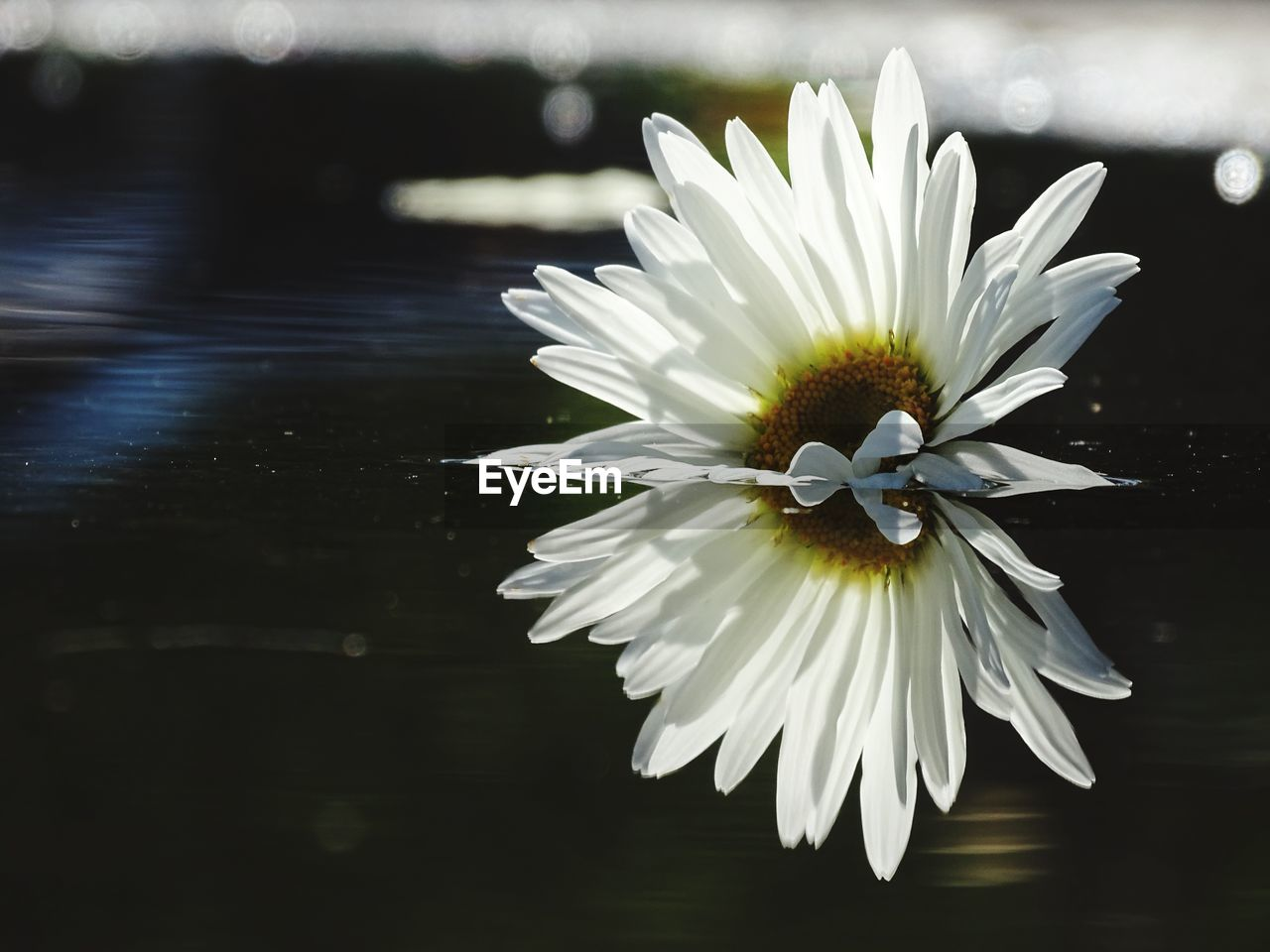 flower, petal, beauty in nature, flower head, white color, fragility, freshness, nature, no people, pollen, day, growth, water, water lily, blooming, close-up, plant, outdoors, lotus water lily, osteospermum, passion flower