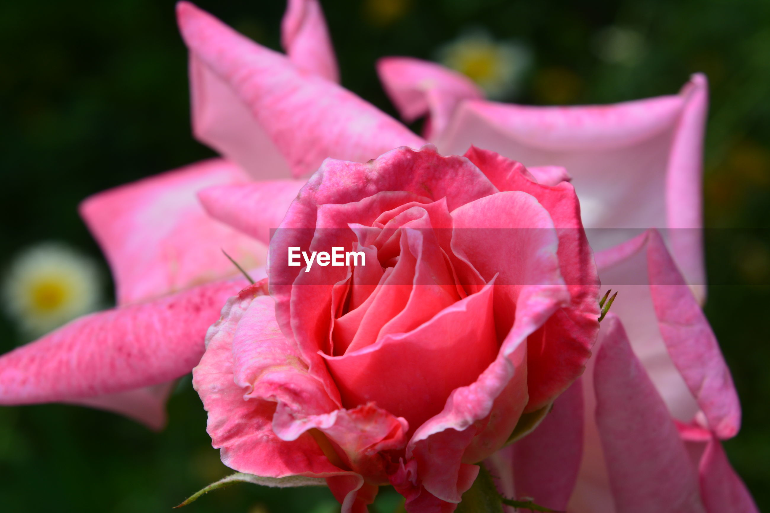 CLOSE-UP OF PINK ROSE PLANT