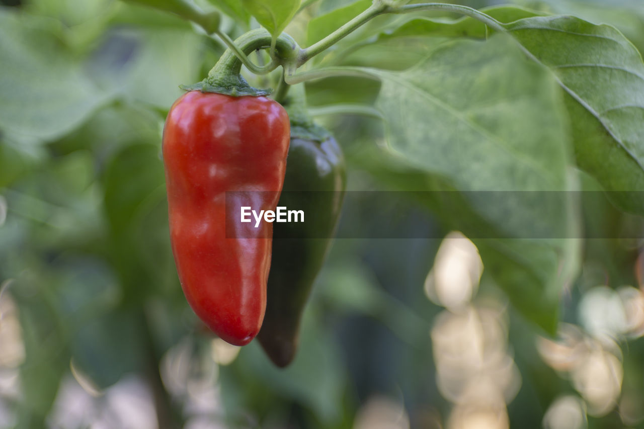 red, pepper, food and drink, growth, chili pepper, healthy eating, food, vegetable, close-up, plant, freshness, green color, plant part, leaf, spice, no people, day, focus on foreground, red chili pepper, nature