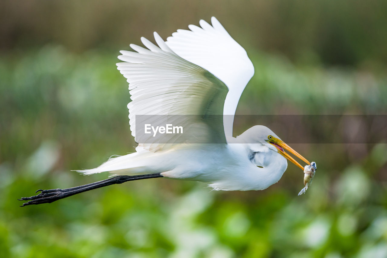 bird, animal themes, animals in the wild, vertebrate, animal, animal wildlife, spread wings, flying, one animal, white color, focus on foreground, day, no people, egret, mid-air, outdoors, nature, great egret, motion, zoology
