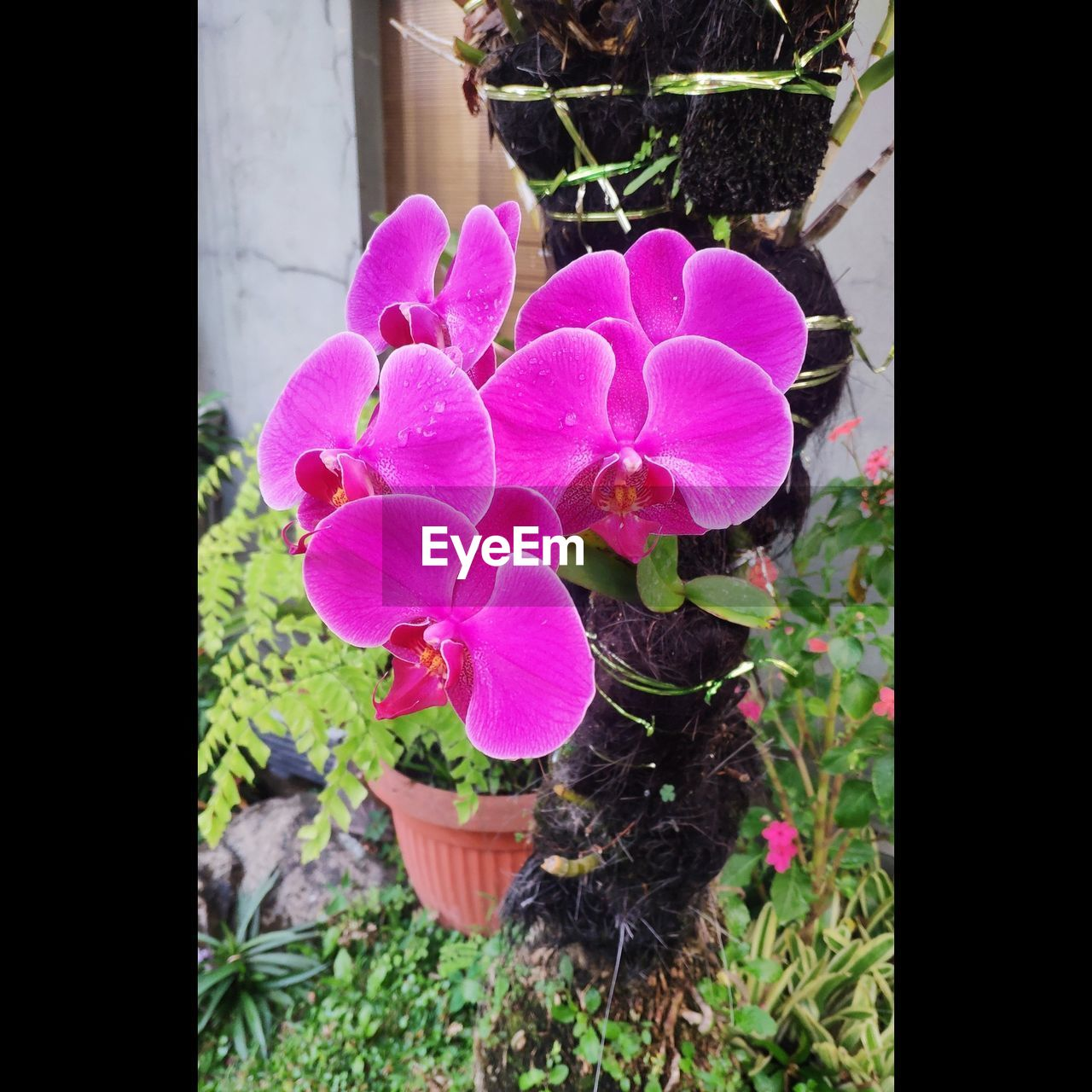 plant, flower, flowering plant, vulnerability, fragility, pink color, beauty in nature, growth, freshness, nature, petal, no people, flower head, inflorescence, close-up, mammal, animal, day, potted plant, domestic animals, outdoors, flower pot, purple