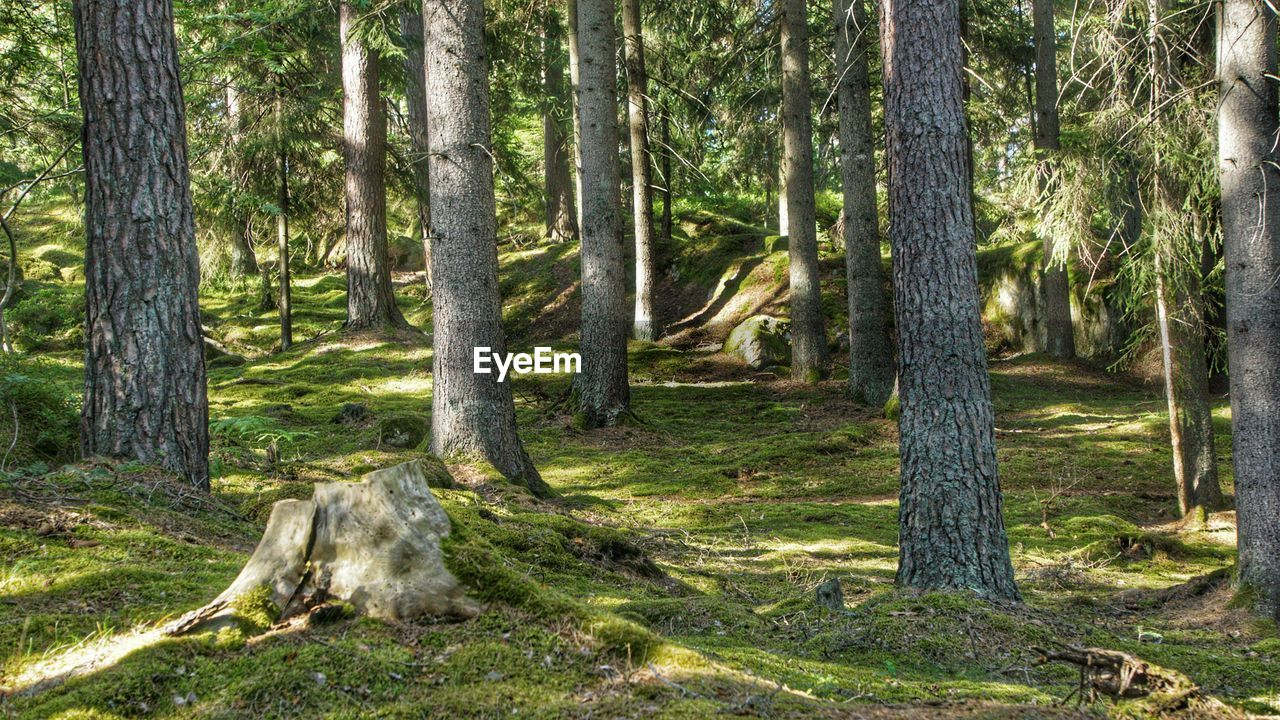 tree, tree trunk, forest, nature, no people, day, outdoors, scenics, woodland, tranquility, growth, landscape, grass, branch, beauty in nature