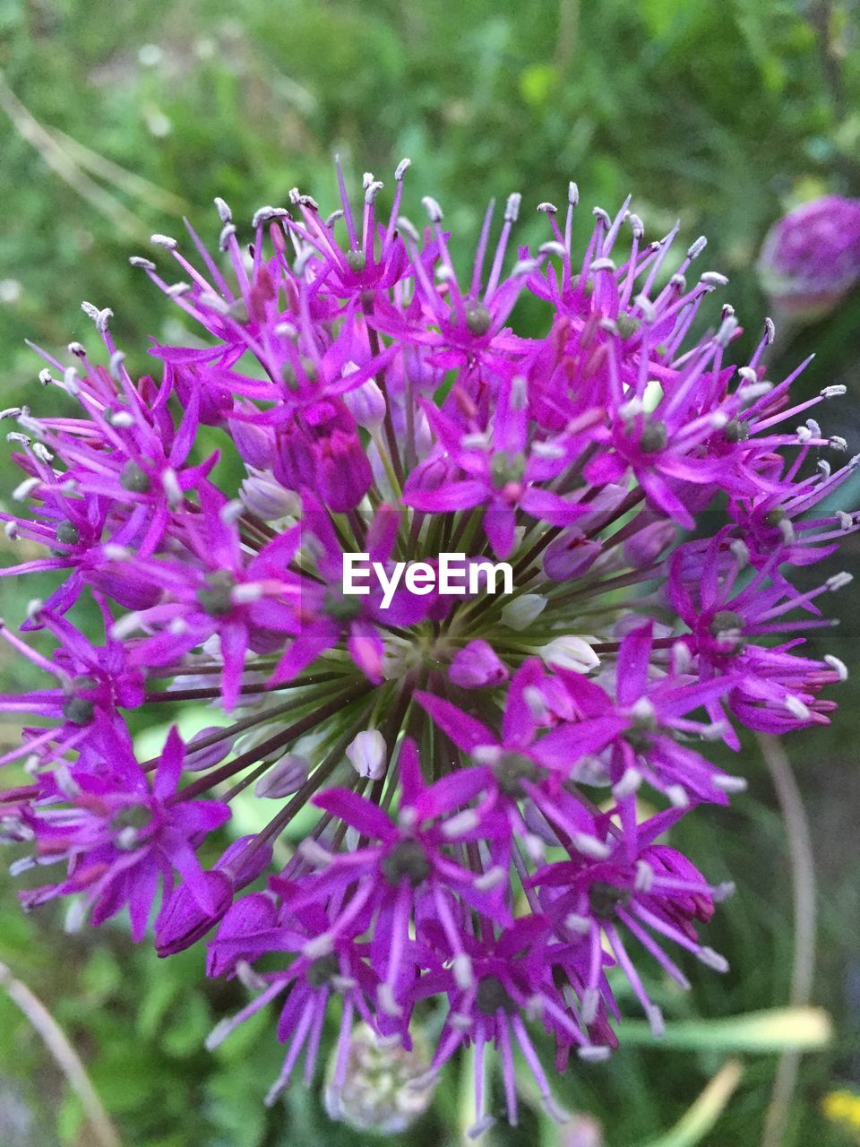 flower, growth, nature, beauty in nature, fragility, purple, freshness, plant, petal, outdoors, day, no people, close-up, flower head, blooming