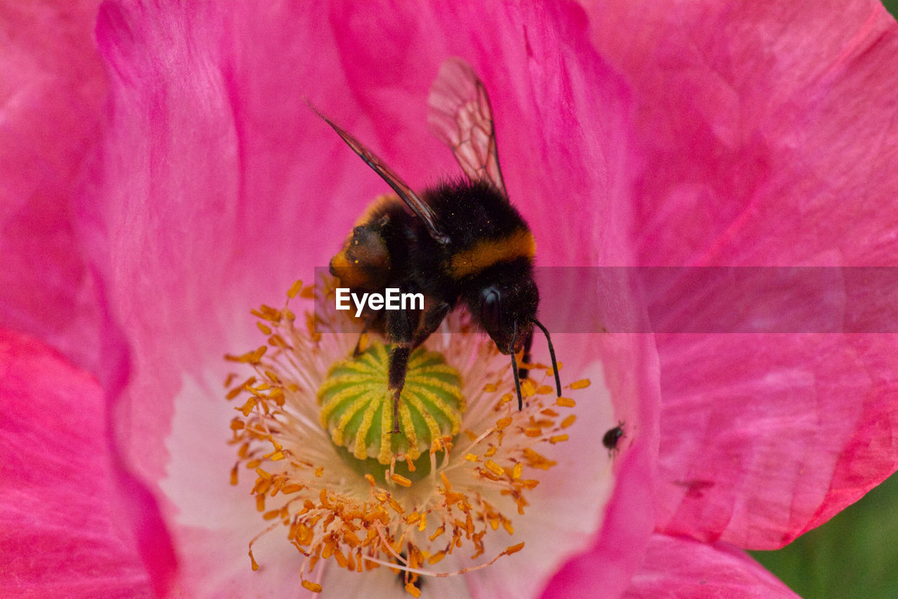 flower, flowering plant, pink color, petal, fragility, vulnerability, flower head, beauty in nature, close-up, freshness, insect, plant, invertebrate, inflorescence, animal themes, animals in the wild, animal wildlife, growth, animal, one animal, pollen, pollination, no people, bumblebee, outdoors
